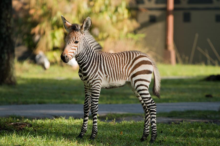 Pheonix Zebra Foal Disney's Animal Kingdom