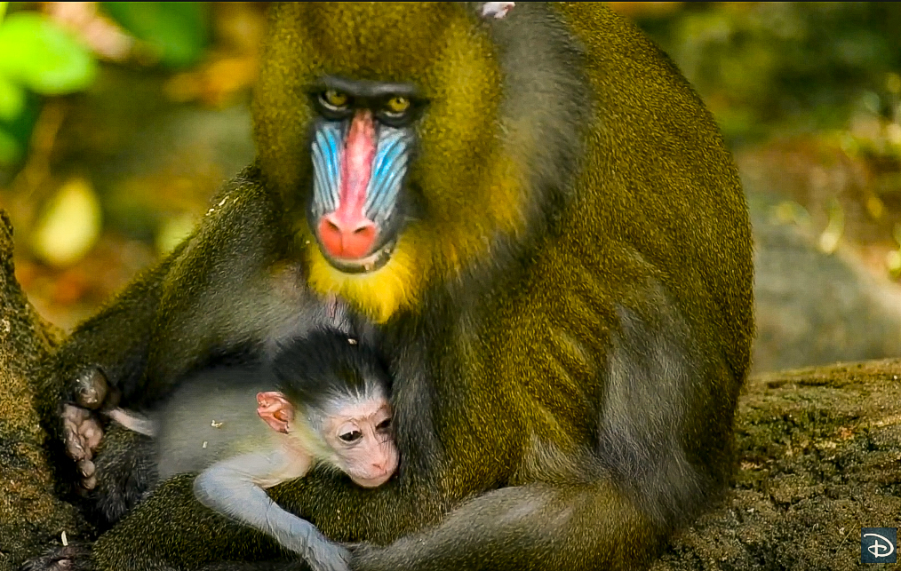 Baby Mandrill Disney Animal Kingdom